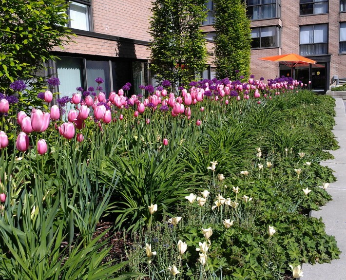 Market Square Tulips